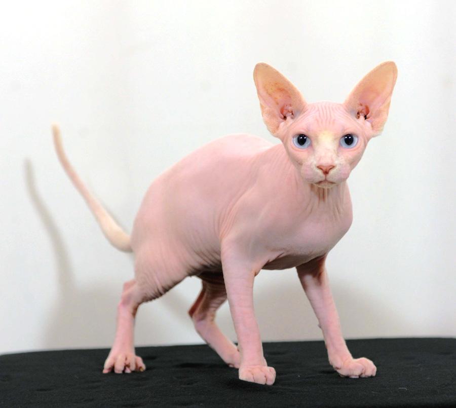 Standard di razza dei gatti Sphynx