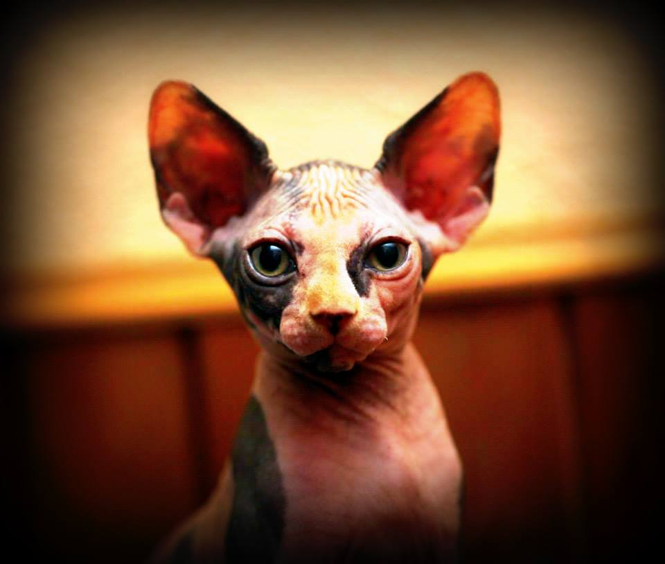F.A.Q. about Sphynx