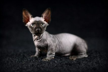 Sphynx breed standard